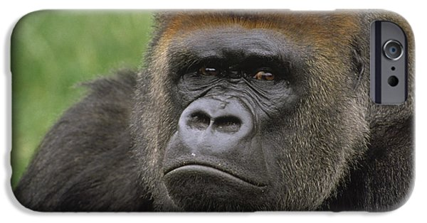 Recently Sold -  - Fauna iPhone Cases - Western Lowland Gorilla Silverback iPhone Case by Gerry Ellis