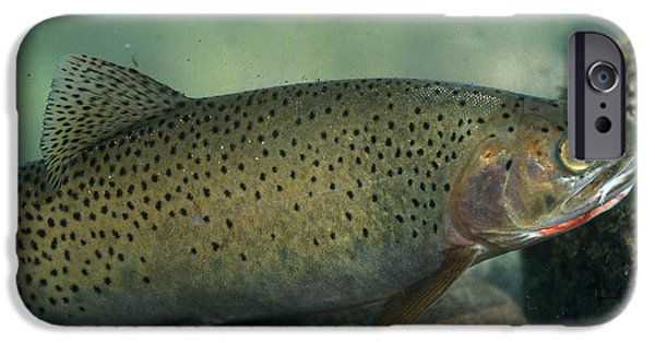 West Fork iPhone Cases - Westslope Cutthroat Trout iPhone Case by William H. Mullins