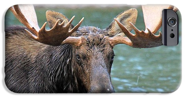Moose In Water iPhone Cases - Wet And Hungry iPhone Case by Adam Jewell