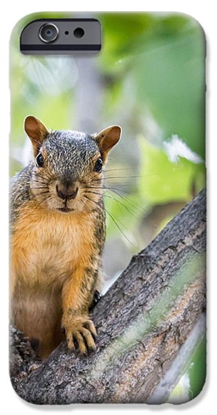 Fox Squirrel iPhone Cases - Where Is My Peanut iPhone Case by Robert Bales