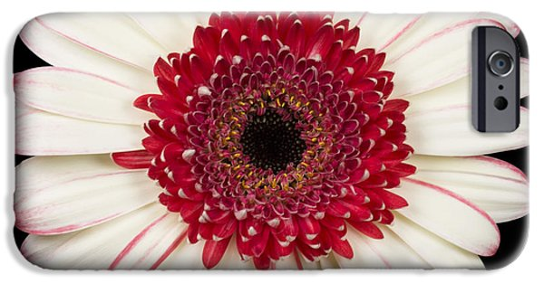 Daisy Bud iPhone Cases - White and Red Gerbera Daisy iPhone Case by Adam Romanowicz