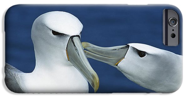 Albatross iPhone Cases - White-capped Albatrosses Courting iPhone Case by Tui De Roy