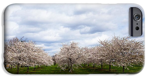Cherry Blossoms iPhone Cases - White Cherry Blossom Field in Maryland iPhone Case by Susan  Schmitz