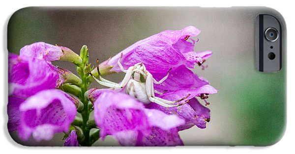 Arachnida iPhone Cases - White Crabe Spider on Obedient Plant 1 iPhone Case by Douglas Barnett