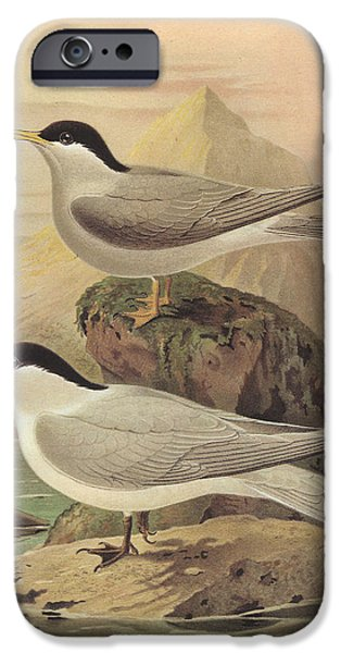 Tern iPhone Cases - White Fronted Tern and Black Fronted Tern iPhone Case by J G Keulemans
