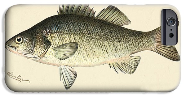Antiques iPhone Cases - White Perch iPhone Case by Gary Grayson
