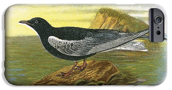 Tern iPhone Cases - White Winged Black Tern iPhone Case by English School