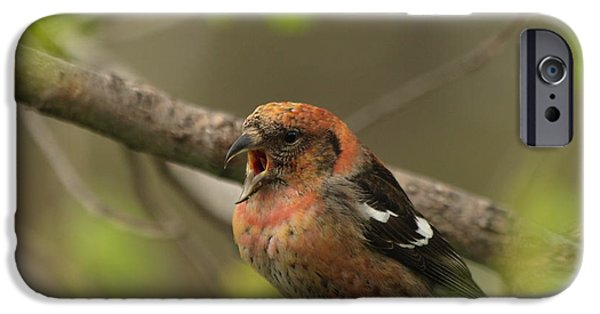 Crossbill iPhone Cases - White-winged Crossbill iPhone Case by James Peterson
