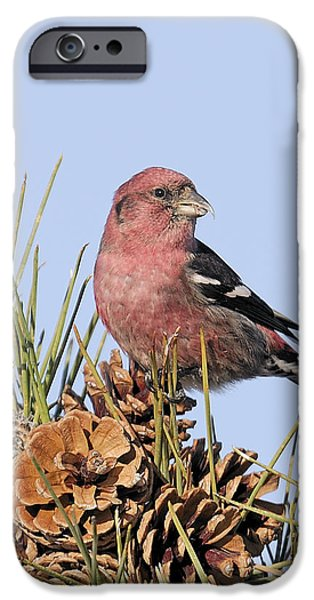 Crossbill iPhone Cases - White-winged crossbill on Pine iPhone Case by Allan Rube