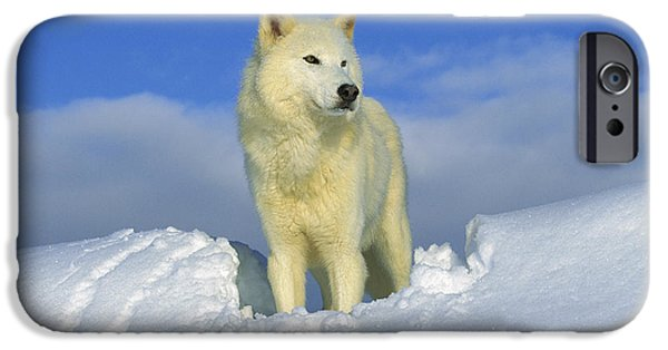 Wolf Image iPhone Cases - White Wolf In The Snow Idaho iPhone Case by Tom Vezo