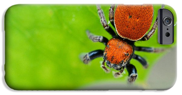 Jumping Spiders iPhone Cases - Whitmans Jumping Spider Phidippus iPhone Case by John Serrao