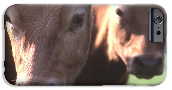 Cow Humorous iPhone Cases - Who are you calling mad iPhone Case by Philip Ralley