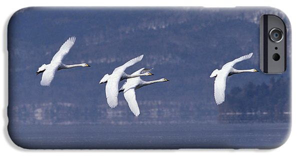 Recently Sold -  - Fauna iPhone Cases - Whooper Swans Flying Hokkaido Japan iPhone Case by Konrad Wothe