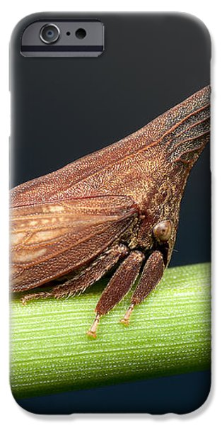 Widefooted Treehopper II iPhone Case by Clarence Holmes