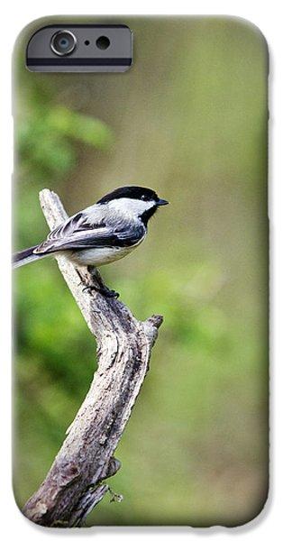 Chickadee iPhone Cases - Wild Birds - Black Capped Chickadee iPhone Case by Christina Rollo