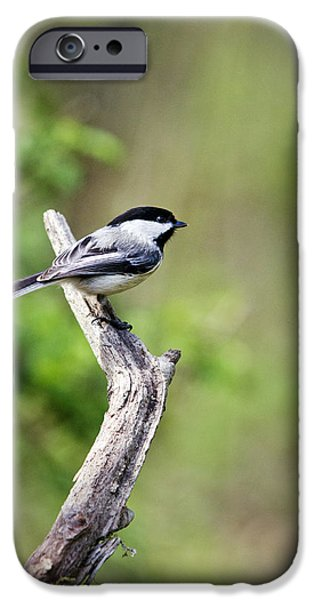 Wild Birds - Black Capped Chickadee iPhone Case by Christina Rollo