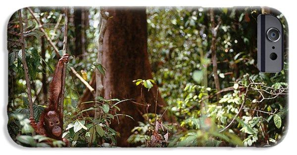 Orangutan iPhone Cases - Wild Orangutan iPhone Case by Art Wolfe