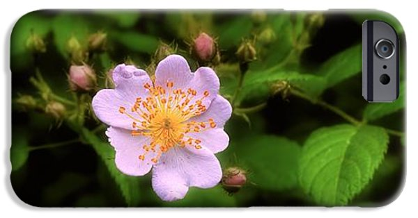Disorder iPhone Cases - Wildflower - Wild Rose - Panorama iPhone Case by Henry Kowalski