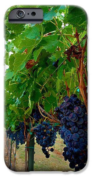 Fruit On The Vine Print iPhone Cases - Wine Grapes on the Vine iPhone Case by Kristina Deane