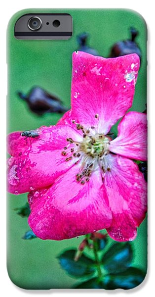 Wet Petals iPhone Cases - Winter Rose iPhone Case by Jan Amiss Photography