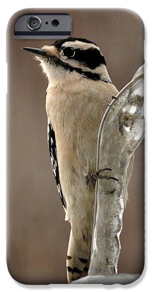 Hairy Woodpecker iPhone Cases - Winter woodpecker iPhone Case by David Halperin