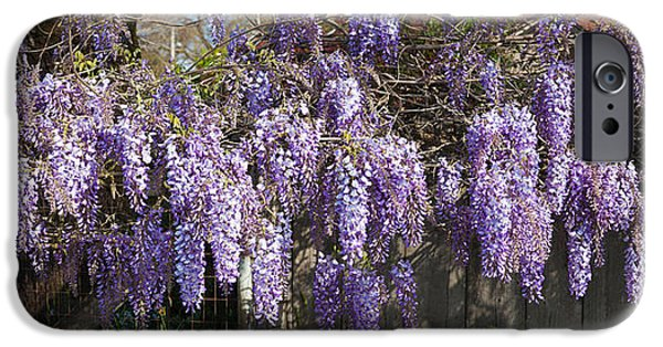 Sonoma iPhone Cases - Wisteria Flowers In Bloom, Sonoma iPhone Case by Panoramic Images