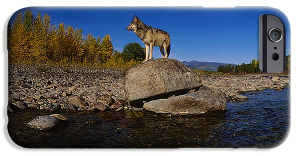 Wolf Image iPhone Cases - Wolf Standing On A Rock iPhone Case by Panoramic Images