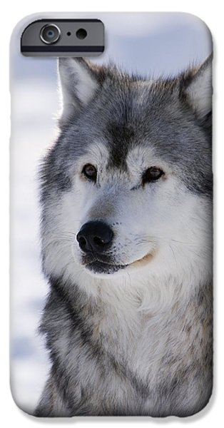 Best Sellers -  - Wintertime iPhone Cases - Wolf winter portrait iPhone Case by Mark Newman