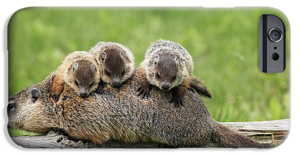 Groundhog iPhone Cases - Woodchuck Carrying Young Minnesota iPhone Case by Jurgen & Christine Sohns