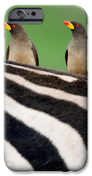 Relationship iPhone Cases - Yellow-billed Oxpeckers Buphagus iPhone Case by Panoramic Images