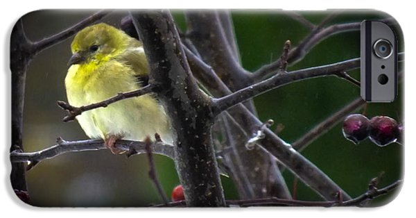 Drops Of Water iPhone Cases - Yellow Finch iPhone Case by Karen Wiles