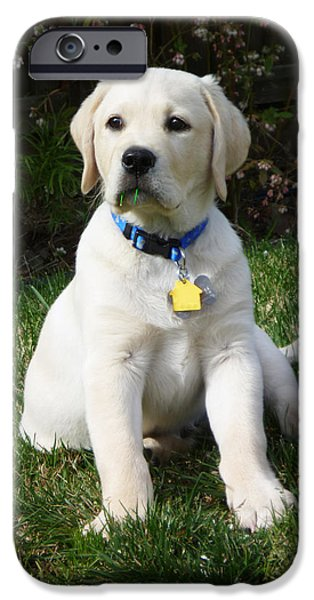 Labrador Puppy iPhone Cases - Yellow Lab Puppy Standing Guard  iPhone Case by Irina Sztukowski