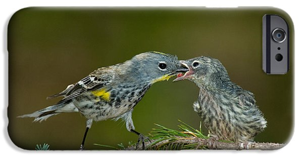 Feeds Chicks iPhone Cases - Yellow-rumped Warbler Feeding Young iPhone Case by Anthony Mercieca