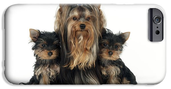 Dog And Toy iPhone Cases - Yorkshire Terrier With Puppies iPhone Case by John Daniels