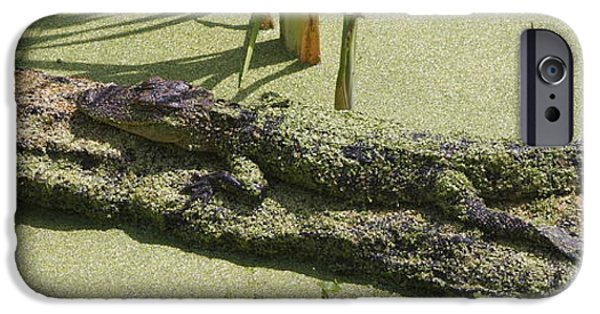 Alga iPhone Cases - Young Alligator #1 iPhone Case by Jamie Anderson