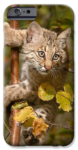 Bobcat Kittens iPhone Cases - Young Bobcat in Tree iPhone Case by Mike Dodak
