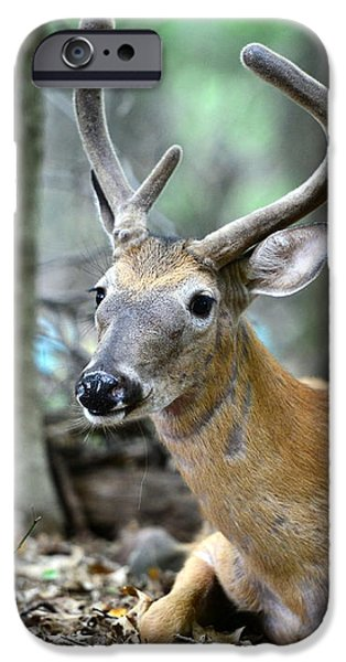 Young Buck at rest iPhone Case by Paul Ward