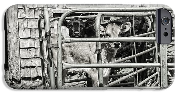 Maine Barns iPhone Cases - Young cows In Pen Near Barn Maine Photograph iPhone Case by Keith Webber Jr