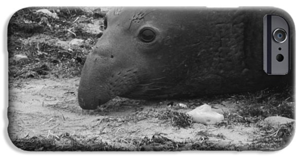 Ano Nuevo iPhone Cases - Young Elephant Seal Bull iPhone Case by Gwendolyn Barnhart