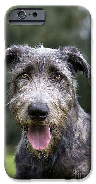 Dog Close-up iPhone Cases - Young Irish Wolfhound iPhone Case by Johan De Meester