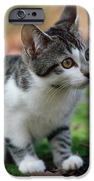 Young Manx Cat iPhone Case by James L. Amos
