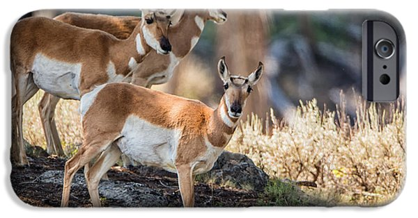 Animals Photographs iPhone Cases - Young Pronghorn at Yellowstone iPhone Case by Andres Leon