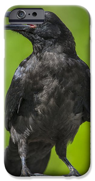 Young Photographs iPhone Cases - Young Raven iPhone Case by Tim Grams
