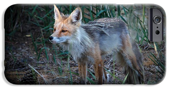 Bushy Tail iPhone Cases - Young Red Fox iPhone Case by Robert Bales