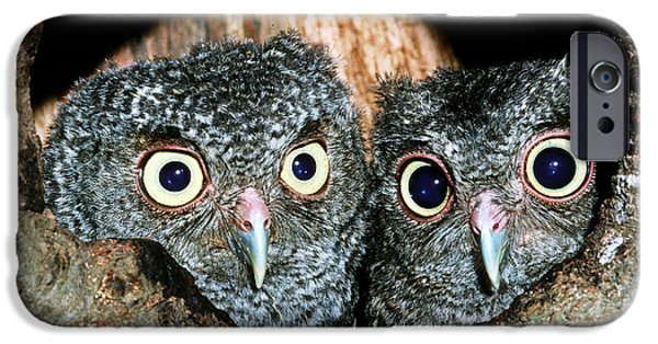 Baby Bird iPhone Cases - Young Screech Owls Otis Asio iPhone Case by Millard H Sharp