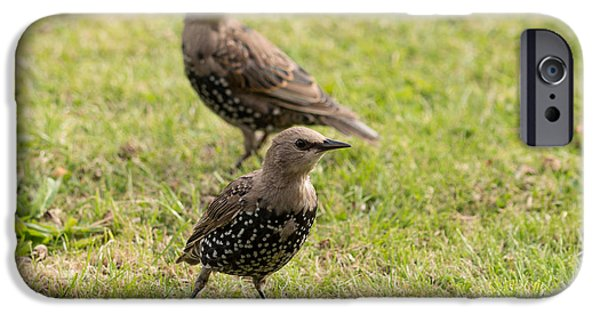 Fauna iPhone Cases - Young Starlings iPhone Case by Robert Carr
