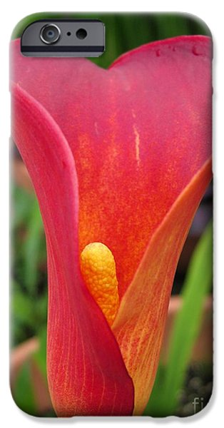 Red Sox iPhone Cases - Zantedeschia named Red Sox iPhone Case by J McCombie