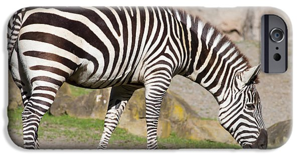 Harem Photographs iPhone Cases - Zebra 7D8956 iPhone Case by Wingsdomain Art and Photography