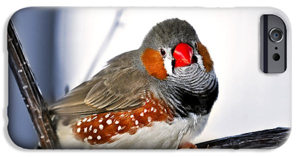 Aviary iPhone Cases - Zebra finch iPhone Case by Elena Elisseeva