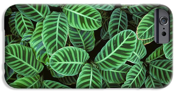 Symetry iPhone Cases - Zebra Plant Leaves Manila Philippines iPhone Case by Nigel Cattlin